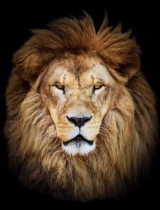 ライオン 王様 キング